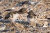 Oyster catcher chick fighting for food - Belmar, NJ (yinongjiang) Tags: belmar newjersey unitedstates us