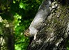Eastern Gray Squirrel (Anne Ahearne) Tags: gray grey squirrel tree wild animal nature wildlife