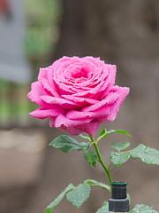 D75_3462-1 (joezhou2003) Tags: huntington rose garden architecture nikon d750 24120mm vr