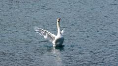 Le roi du lac (bernard.bonifassi) Tags: bb088 06 alpesmaritimes 2018 mai canonsx60 oiseau oiseaudeau cygne