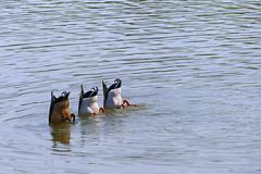 Trio (JLM62380) Tags: trio canards duck pond lake animal bird water eau oiseau villerssurmer