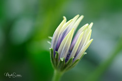 Just born (marko.erman) Tags: african daisy osteospermum beautiful sony ilce7rm2 blue petal white flower plant nature floral bokeh macro fleur plante bois brillant drops water papillon jardin