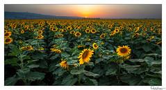 Yellow (Raul Kraier) Tags: sunflowers girasoles field sunset yellow sky sun flowers spring light canon sea canon5dmarkiv