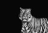 Sumatran Tiger (MudMapImages) Tags: zoo tiger sumatrantiger conservation
