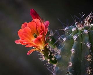 IMG_6605-Claret Cup cactus