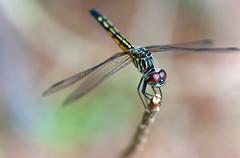 Dragonfly II (ertolima) Tags: wings insect macromondays allnatural macro
