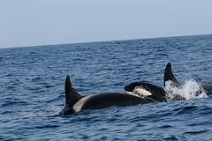 orca! (walter.innes) Tags: walterinnes caithness wick crru orca blackfish