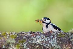 Gotta Feed The Chicks Too (KevinBJensen) Tags: scotland beautiful beauty nature great spotted woodpecker picidae bird animal dendrocopos major nikon 300mm f28 g ed vr ii afs d850 mark johnson macro tc14e teleconverter iii sue demetriou fusion imagery ornithology beautyinnature greatspottedwoodpecker dendrocoposmajor nikon300mmf28gedvriiafs markjohnsonmacro markjohnson nikontc14eafsteleconverteriii suedemetriou fusionimagery