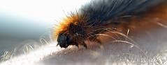 caterpillar on my arm {explored} (conall..) Tags: fox moth macrothylacia rubi foxmoth macrothylaciarubi st john's lighthouse countydown killough stjohnspoint