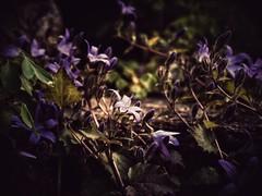 Spotlight (J.C. Moyer) Tags: rustic plants buds bud leaves floor woods garden stone nature green lilac spotlight panasonicdmcgx80 color colour flora flowers flower