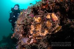 Camouflaged anglerfish at Kurnell (Nicolas & Léna REMY) Tags: kurnell marinelife nauticam ocean frogfish australia wildlife fish nsw sydney underwater inon pacificocean angler anglerfish antennaire diving mer photography plongée poisson scuba sea wild