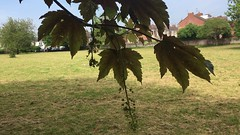 Sycamore (Acer pseudoplatanus 'purpurea') - leaves & flowers - May 2018 (Exeter Trees UK) Tags: sycamore acer pseudoplatanus purpurea leaves flowers may 2018