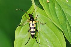 Bug (Hugo von Schreck) Tags: hugovonschreck käfer bug macro makro insect insekt canoneos5dsr tamron28300mmf3563divcpzda010
