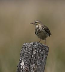 Meadow Pipit (themadbirdlady) Tags: passeriformes motacillidae anthuspratensis meadowpipit sheriffmuirinnnn8202
