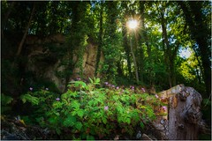 Rosa Blümchen im dunklen Wald (linke64) Tags: thüringen deutschland germany natur landschaft wald bäume blumen sonne