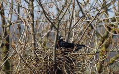 Rook nest-building #2 (Steve Balcombe) Tags: bird corvid rook corvus frugilegus black nest twigs rookery somerset uk