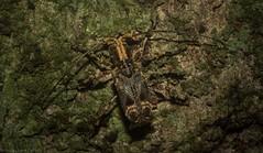 Meton digglesii (dustaway) Tags: arthropoda insecta coleoptera cerambycidae lamiinae meton longicornbeetle australianbeetles australianinsects rotarypark rprr rainforest lismore northernrivers nature nsw australia rotary park reserve rotaryparkrainforestreserve
