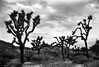 Trouble with the trees (nateabrown) Tags: joshuatree desert cali california ilford iso400 blackandwhite grain landscape palmsprings rock geology minolta