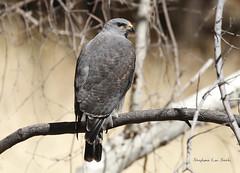 Gray Hawk (slsjourneys) Tags: grayhawk hawk huachucacanyon arizonaraptors cochisecounty