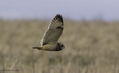 SEO (Nobby1968) Tags: shorty owl seo shortearedowl hawling gloucestershire cotswolds birds raptor birdsofprey animal bird sky grass snow flying flight