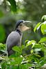 Boat-billed Heron (www.NeotropicPhotoTours.com) Tags: costarica bird neotropicphototours boatbilledheron yawning rainforest phototours juancarlosvindas portraitmode birdphotography tours expedition canongear