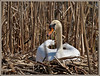 breeding (Rolf Dietrich Brecher) Tags: nest brüten schwan schilf weis