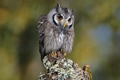 """""""Frodo"""", Southern White-Faced Owl, CaptiveLight, Liberty's Owl, Raptor and Reptile Centre, Hampshire UK"""