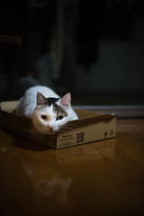 2017.10.13: lou | box (Nazra Z.) Tags: munchkin cat tabby sitting box 2017 raw okayama japan pet indoors night