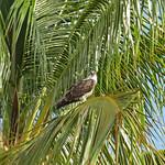 Osprey (Everglades NP) thumbnail