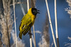 Black-headed Weaver (andy_harris62) Tags: blackheadedweaver bird portugal riaformosa reeds wildlife spring
