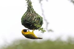 Maskerwever - Southern Masked-Weaver - Ploceus velatus (marcdeceuninck) Tags: tanzania nature natuurfotografie ndutu safari vogels birds maskerwever southernmaskedweaver ploceusvelatus tisserinàtêterousse