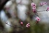 Enjoy the little things in life (gwuphd) Tags: vivitar 90180mm f45 cherryblossom
