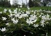 WALD WILDRÖSCHEN (Fimeli) Tags: nature wald forest frühling spring blüten plant pflanze blumen flowers wiese meadow