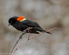 Looking Intense (vernonbone) Tags: 2018 april birds february lens march nikond3200 redwingedblackbirds sigma150500 thicksonwoods