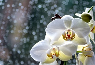 Raindrops and sunshine - orchids.