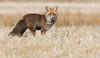 Red Fox (Wouter's Wildlife Photography) Tags: redfox fox vulpesvulpes ræv animal mammal nature naturephotography wildlife wildlifephotography predator wintercoat billund eyecontact
