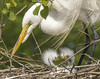 Next Generation (ChefeGrande) Tags: greatwhiteegret greatwhiteheron wadingbird animal outdoors nest breeding avian aves tree rookery preserve birdsanctuary noperson sticks birdofprey waterbirds babygreatwhiteegret baby youngchick pair chicks ardeaalba adultandchicks