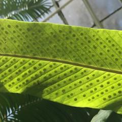 greenhouse spores (patricia5275) Tags: green spores leaf greenhouse