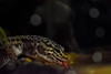Thirsty Nyx (SystemSoup) Tags: leopardgecko reptile gecko pet