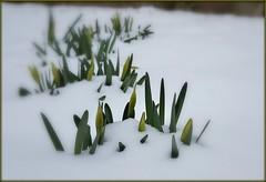 Narcisi in boccio sotto la neve (Aellevì) Tags: fioriprimaverili neve nevicata bianco coperta rinascere