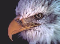 Baldy (dusk_rider) Tags: bald eagle portrait up beak eyes feather yellow white stare intense beautiful gorgeous nikon d7200 close closeup dusk rider flickrchallengegroup