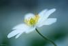 Fragile beauty (He Ro. - Off for a while -) Tags: bergischesland frühling makrofotografie waldanemone homepatch spring anemonenemorosa closeup macro flowers blume nrw germany painterly dreamy dreamlike
