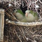 Monk Parakeets (AKA Quaker Parrots) in Nest thumbnail
