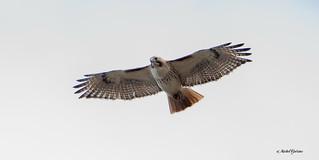 Buse à queue rousse - Red-tailed Hawk