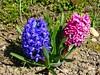 """Hyazinthen (Hyacinthus) (warata) Tags: 2018 deutschland germany süddeutschland southerngermany schwaben swabia oberschwaben upperswabia schwäbischesoberland """"badenwürttemberg"""" badenwürttemberg hyazinthen hyacinthus"""
