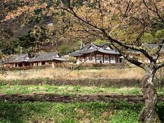Korean houses (MelindaChan ^..^) Tags: hadong skorea 河東 house korean tree cherry blossom flower plant chanmelmel mel melinda melindachan travel spring