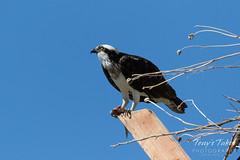 Female Osprey keeping watch on an intruder
