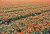 DSC04620 (derek_2001) Tags: tulips noordwijk holland bollenveld field