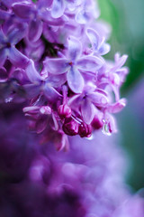 Macro lilac (Ulchiva) Tags: lilac spring background flowers flower purple lilacs beautiful bush violet nature blossom blooming fresh branch plant floral garden green summer texture season macro petals scent beauty bright color botany rain bloom bunch syringa abstract soft lavender macrography macroflowerlovers waterdropsmacros closeup
