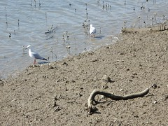 Stick in the Mud (mikecogh) Tags: whangarei stick branch mid stuck idiom seagulls riverhatea